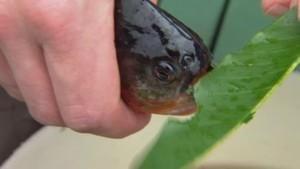 The legendary piranha photo