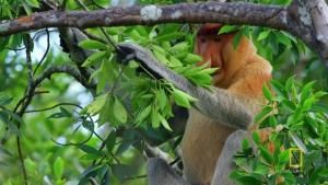 Proboscis Monkeys Jump Around photo