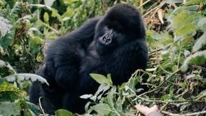 How did Dian help the Mountain Gorilla population in Rwanda? photo