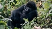 How did Dian help the Mountain Gorilla population in Rwanda? show