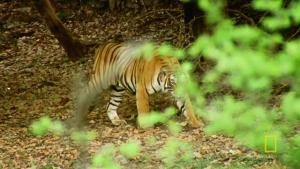 Meet Machli, the World's Most Famous Tiger video
