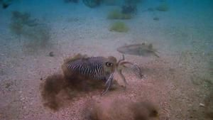 Cuttlefish Scuttle photo