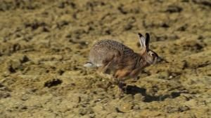 Hares Play Hard To Get photo