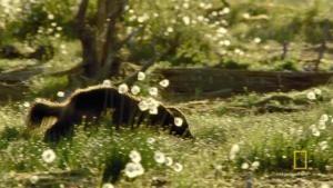 Wolverine photo