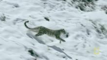 Snow Leopard show