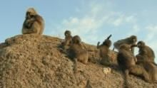 Gelada Monkeys show