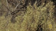 Lions Hunt Zebra show