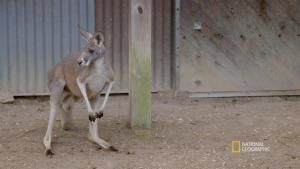 Kangaroo Round-Up video
