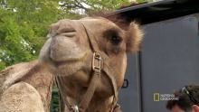 Baby Camels on Board? show