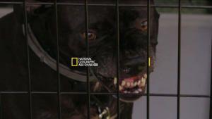 الكلاب الشرسة صورة