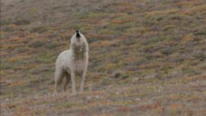 مملكة الذئب القطبي فيديو