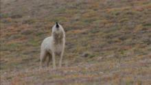 مملكة الذئب القطبي برنامج
