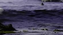 The Secret Forest Harlequin Ducks show