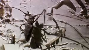 Long Horned Beetle Versus Ants photo