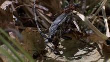 Siberia Ants show