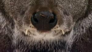 Siberia Musk Deer photo