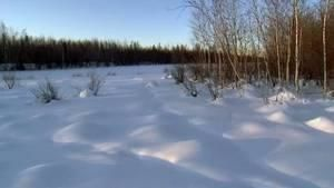 Siberia Eurasian Wolves photo
