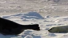 The Arctic Harp Seals show
