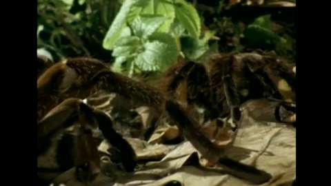 Deadly Tarantula Courtship