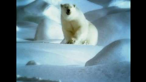 Polar Bears Battle To Mate