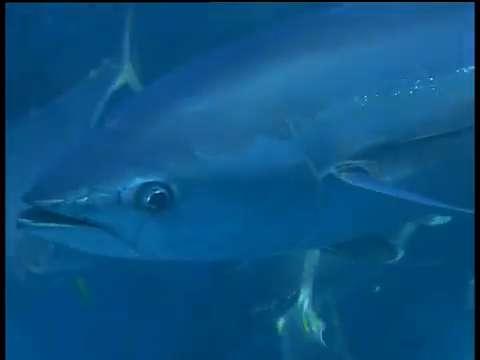 Divers catch tuna in shark waters