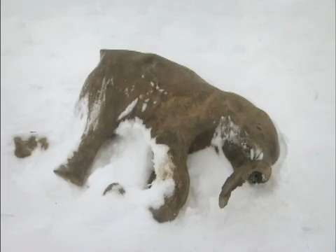 Woolly Mammoth Discovered