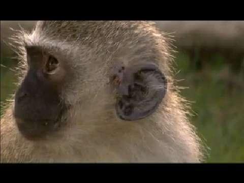 Monkey gangs in street wars