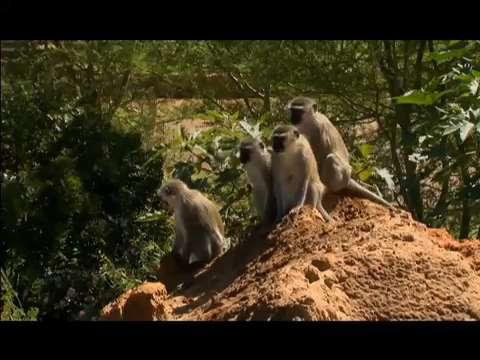 Meet the monkey gangs