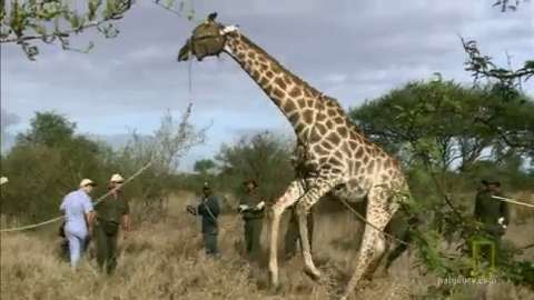 Giraffe Resists Rescue